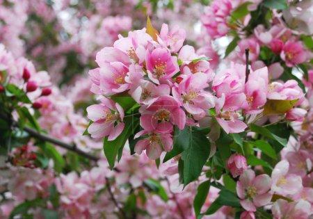 Photo pour Pommier en fleurs - belles fleurs roses - image libre de droit