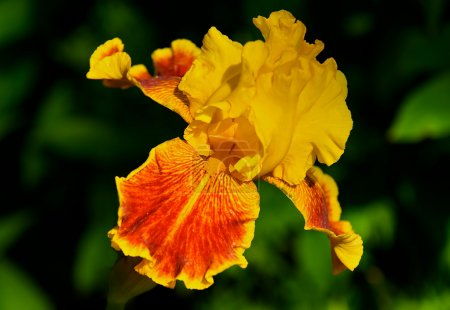 Yellow and orange Bearded Iris.