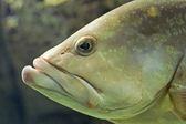šéf ryb