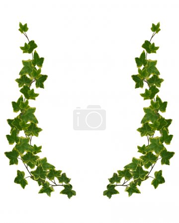 Ivy Border element isolated