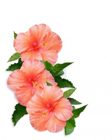 Photo pour Frontière floral tropical de hibiscus pour carte, fête, mariage, invitation anniversaire sur fond blanc avec espace de la copie de couleur pêche - image libre de droit
