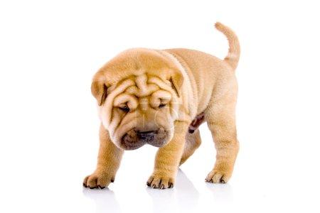 Shar Pei baby dog