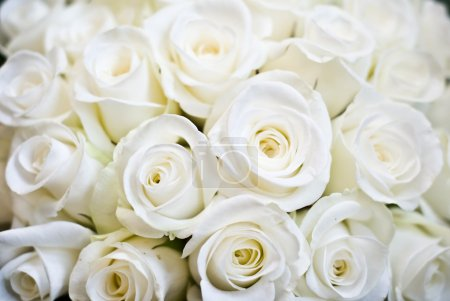Photo for White Rose Background - Royalty Free Image