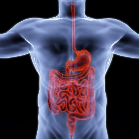 Photo pour Des entrailles humaines sous rayons X. 3d rendu . - image libre de droit