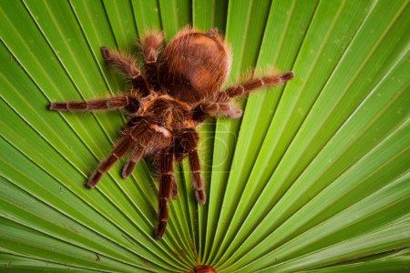 Gigant Tarantula on Leaf