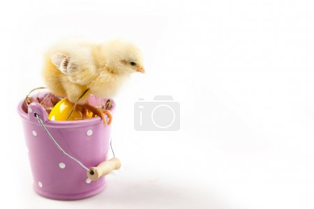 Easter Chick sitting on Bucket