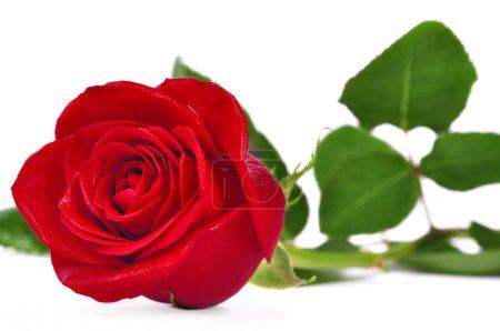Photo pour Rose rouge sur fond blanc - image libre de droit