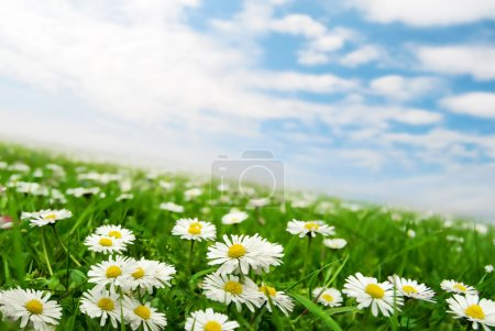 Daisies under the sky