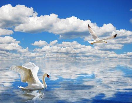 Photo pour Cygne gracieux nageant dans l'océan - image libre de droit