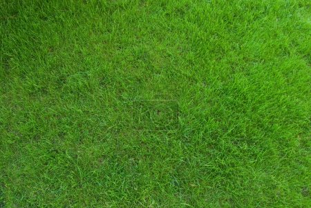 Photo for Real green grass texture - Royalty Free Image