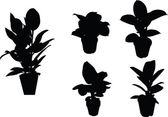 Ficus silhouette collection