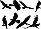 Goshawk silhouette collection
