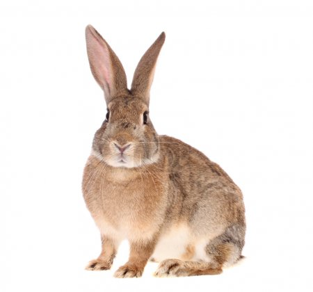 Photo for Brown rabbit on a white background, is isolated. - Royalty Free Image