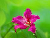 Bauhinia květ