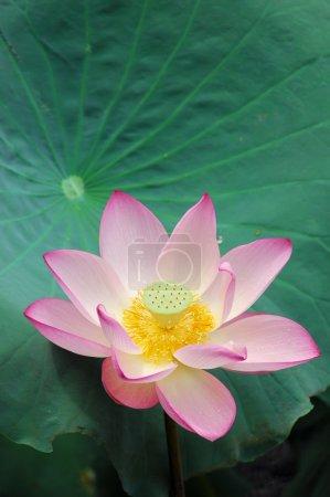 Photo pour Gros coup de lotus rose. - image libre de droit
