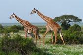 Two giraffes in african savannah