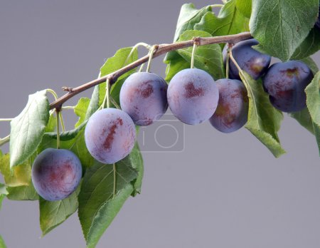 Photo for Ripe plums on a branch with green leaves - Royalty Free Image