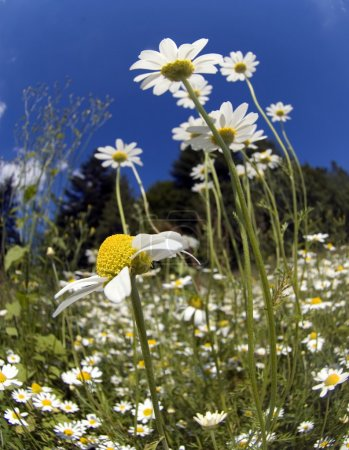 Field camomiles in the Alpine meadows