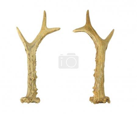 Horn of a deer