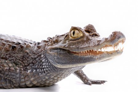 Closeup alligator isolated on the white