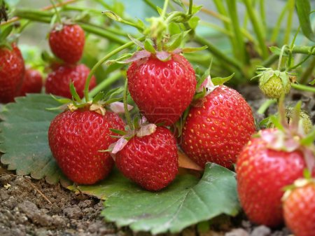 Photo for Bush of red strawberry growing in a garden - Royalty Free Image