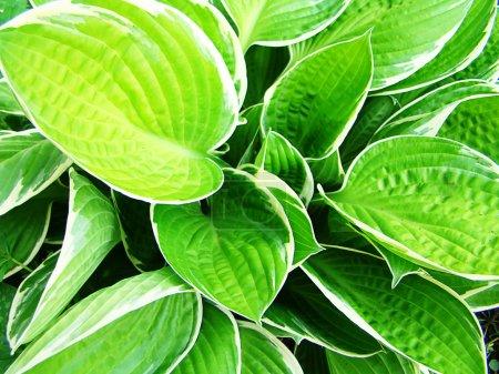 Photo pour Feuilles vertes avec bords blancs - image libre de droit