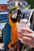 Colorful Macaw Eating Ice Cream