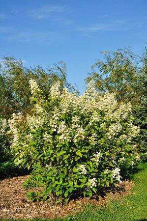 Photo pour Buisson d'hortensias fleurissant, vertical, espace copie - image libre de droit
