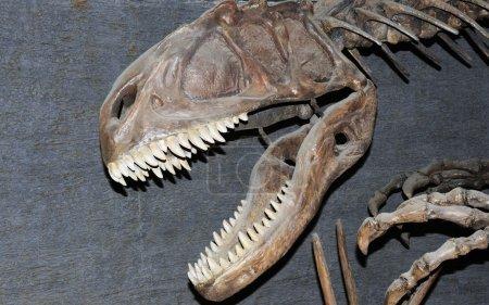 Fossil of Tyrannosaurus dinosaur