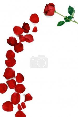 Foto de Een roze bloem vergezeld van vele rozenblaadjes - Imagen libre de derechos