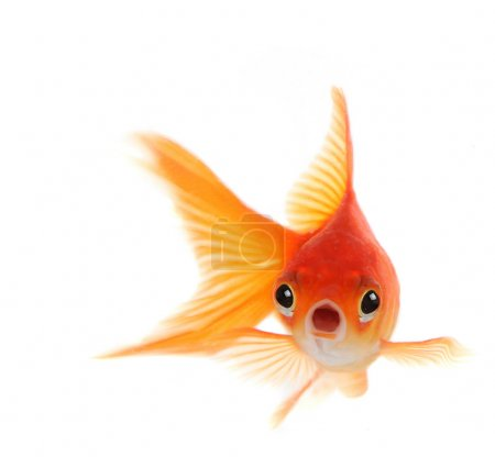 Shocked Goldfish Isolated on White Backg