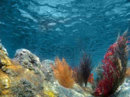 Photo pour Sous la mer Vue sur l'océan avec des plantes et des coraux - image libre de droit