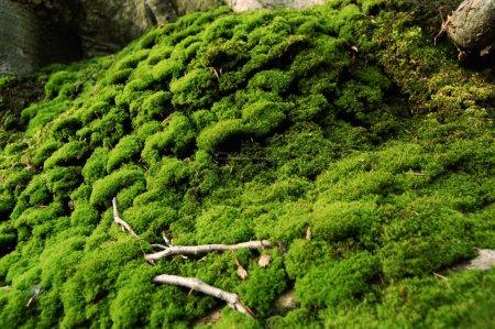 Photo pour Mousse poussant sur le sol de la forêt - image libre de droit