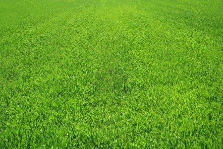 Green grass background...