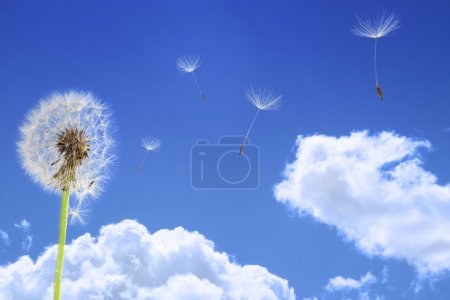 Dandelion seeds flying in the blue sky...