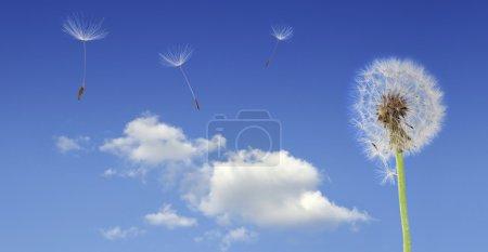 Dandelion seeds flying