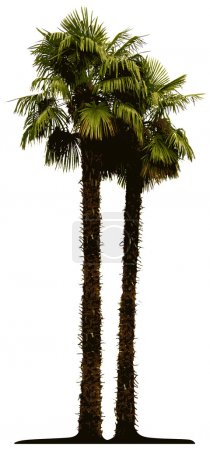 Detailed palm tree isolated on white bac