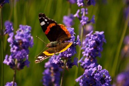 Photo pour Papillon Vulcain se nectar d'une fleur de lavande belle - image libre de droit