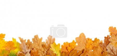 Photo pour Feuilles de chêne automne sur le fond isolé sur blanc - image libre de droit