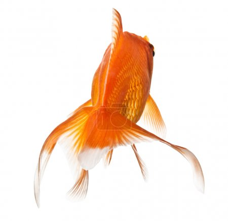 Photo for Closeup of a goldfish isolated on white background - Royalty Free Image