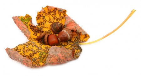 Curled maple leaf with acorns