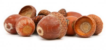 Photo for Group of dry brown acorns gainst white background, gentle shadow underneath - Royalty Free Image