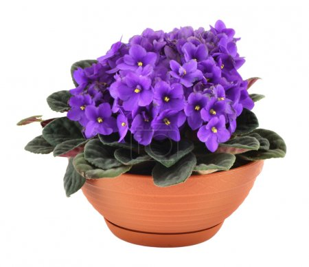 Photo for Fresh violets in pot isolated on white background, - Royalty Free Image