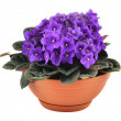 Fresh violets in pot isolated on white background,...