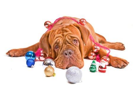 Photo pour Gros chien gentil se trouvant parmi les décorations de Noël - image libre de droit