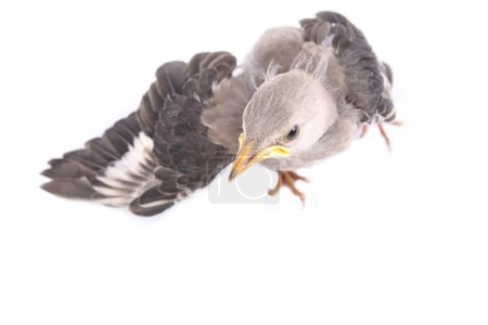 Open wing bird