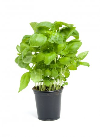 Photo for Fresh basil plant in black pot isolated on white background - Royalty Free Image