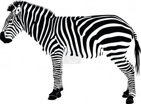 Zebra silhouette vector...
