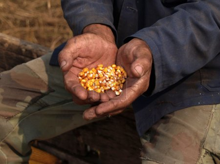 Farmers hands holding corn seeds