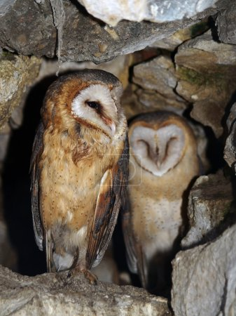 Two barn owl in a rocky cave